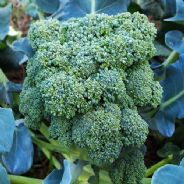 Calabrese Italian Broccoli - Green Sprouting Natalino - Appx 1,600 seeds